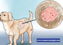 Como se Contagia Sarna Perros – Como Saber si mi perro Tiene Sarna o Alergia