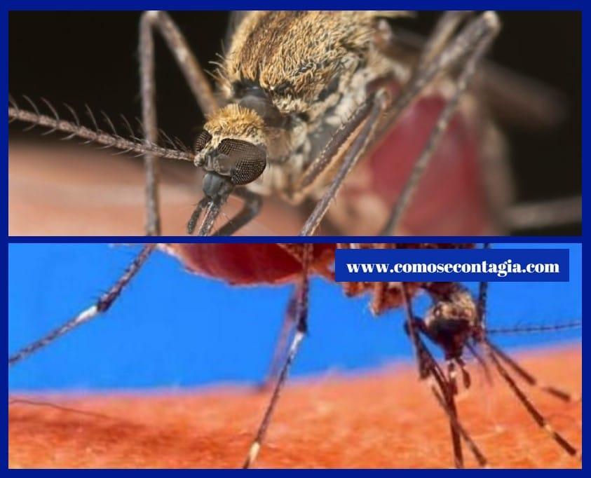 Como se contagia el paludismo o malaria