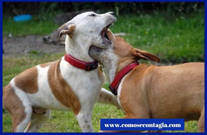 Como se contagia un perro de rabia